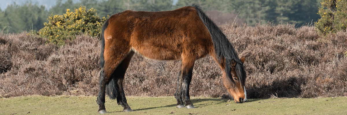 Van Hire Hampshire New Forest Pony
